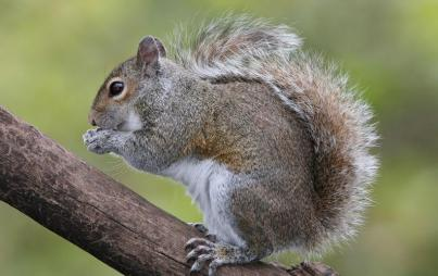 This squirrel survived an alligator encounter, so there's hope everyone. (Image Credit: By BirdPhotos.com - BirdPhotos.com via Wikimedia Commons)