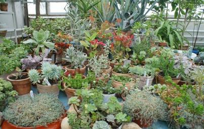 "Succulents galore! Image: <a href=""https://upload.wikimedia.org/wikipedia/commons/7/7e/5-bio-bsu-botany.jpg"">Wikipedia</a>"