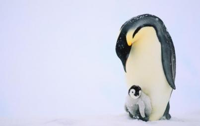 Wimpy emporer penguins have nothing on their ice age brethren (Credit: ThinkStock)