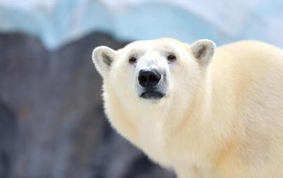 Stuck at work because of... polar bear posse. That happened. (Image Credit: Think Stock)